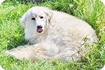 Great Pyrenees Dog for adoption in Kyle, Texas - Loretta Lynn