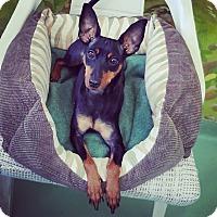 Adopt A Pet :: Scarlet - New York, NY