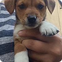Adopt A Pet :: Evan - Long Beach, CA