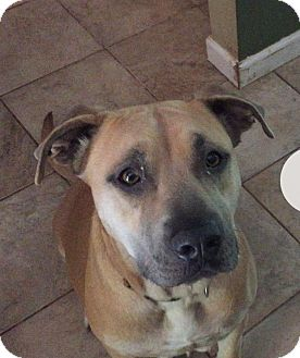 Black Mouth Cur Mix Dog for adoption in Salem, Oregon - Gypsy