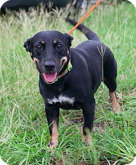 Miniature Pinscher/Dachshund Mix Dog for adoption in New York, New York - Shirley
