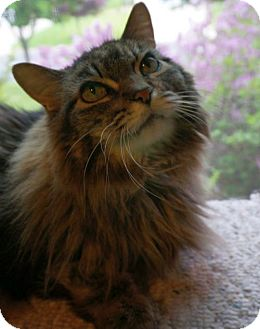 Maine Coon Cat for adoption in Verona, Wisconsin - Bayley and Sasha