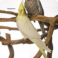 Cockatiel for adoption in Stratford, Connecticut - Pearl and Sundance