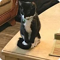 Adopt A Pet :: Francois - McKinney, TX