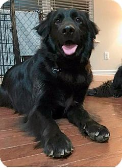 Border Collie/Flat-Coated Retriever Mix Dog for adoption in Raleigh, North Carolina - Junior/Shadow