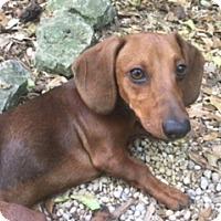 Adopt A Pet :: Jaeger - Pearland, TX