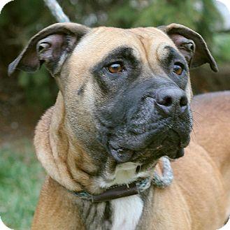 Pit Bull Terrier Mix Dog for adoption in Springfield, Illinois - Sosha