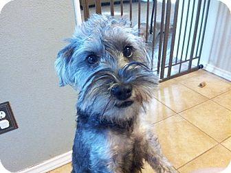 Miniature Schnauzer Mix Dog for adoption in Flower Mound, Texas - Sweetie