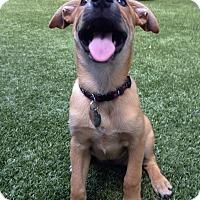 Adopt A Pet :: Arya - Austin, TX