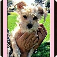 Adopt A Pet :: Pixie - Rancho Cucamonga, CA