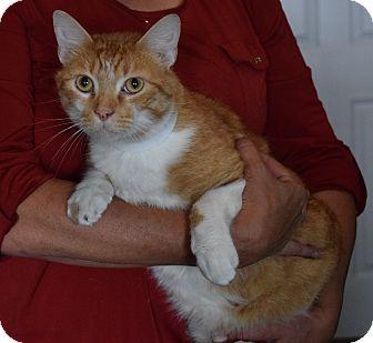 Domestic Shorthair Cat for adoption in Surrey, British Columbia - Dexture