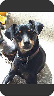 Dachshund/Chihuahua Mix Dog for adoption in Houston, Texas - Lola