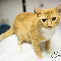 Domestic Shorthair Cat for adoption in Columbia, Tennessee - Sassafras