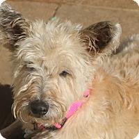 Adopt A Pet :: Dixie Belle - Norwalk, CT