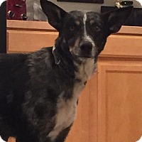 Adopt A Pet :: Chardonnay (FORT COLLINS) - Fort Collins, CO
