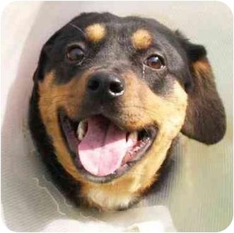 Rottweiler Dog for adoption in Marion, Arkansas - BAGEL: Please Read