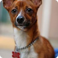 Adopt A Pet :: Lil Brownie - Tinton Falls, NJ