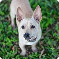 Adopt A Pet :: Pixie - San Antonio, TX