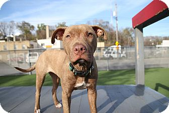 American Pit Bull Terrier Mix Puppy for adoption in West Allis, Wisconsin - Sophie Anne
