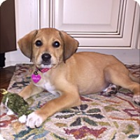 Adopt A Pet :: Goldie - Memphis, TN