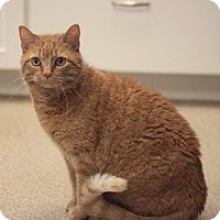 Domestic Shorthair Cat for adoption in Naperville, Illinois - Dash
