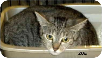 Domestic Shorthair Cat for adoption in Jacksonville, Florida - Zoe