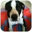 Photo 2 - Pit Bull Terrier/Border Collie Mix Dog for adoption in Houston, Texas - Marco