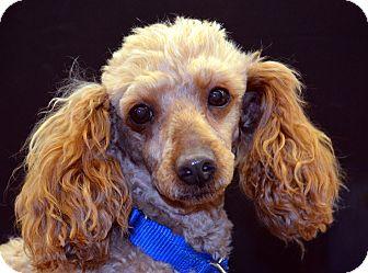 Poodle (Miniature) Mix Dog for adoption in Bridgeton, Missouri - Rusty