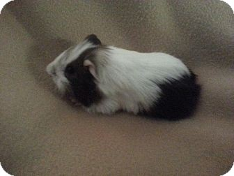 Guinea Pig for adoption in Pittsburgh, Pennsylvania - Cyrus & Spot