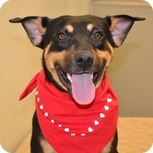Coonhound/Rottweiler Mix Dog for adoption in Gilbert, Arizona - Phineus