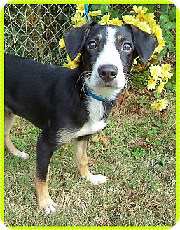 Border Collie Mix Puppy for adoption in Marietta, Georgia - BEAR (R)