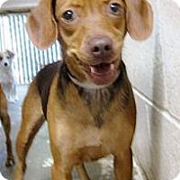 Adopt A Pet :: Cinnamon super URGENT - Sacramento, CA