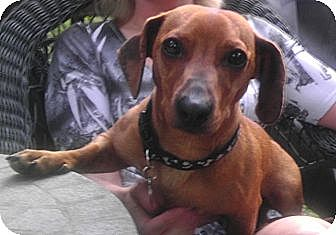 Dachshund Dog for adoption in Decatur, Georgia - Harrison