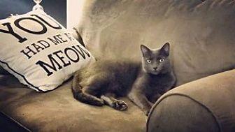 Domestic Shorthair Cat for adoption in St. Louis, Missouri - Gravy Boat