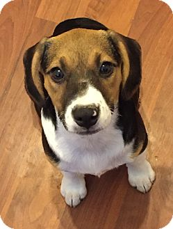 Beagle Mix Puppy for adoption in Colmar, Pennsylvania - Darla