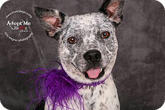 Australian Cattle Dog Mix Dog for adoption in Cincinnati, Ohio - Yin