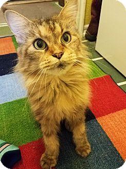 Maine Coon Cat for adoption in Edmond, Oklahoma - Sarabi