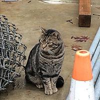 Domestic Shorthair Cat for adoption in Roseburg, Oregon - Barn cats