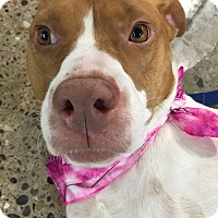 Adopt A Pet :: Molly - Warren, MI