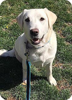 Labrador Retriever Puppy for adoption in Fairfax, Virginia - Cheyenne