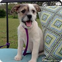 Adopt A Pet :: Mila - Pipe Creed, TX