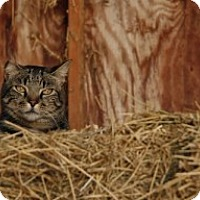 Other for adoption in Apex, North Carolina - Barn cat