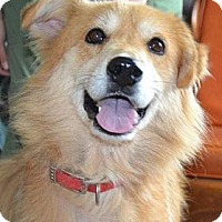 Adopt A Pet :: Belle - White River Junction, VT