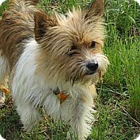 Adopt A Pet :: Isla - Glastonbury, CT