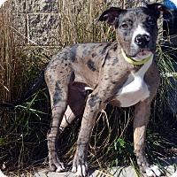 Adopt A Pet :: Grayson - Bridgeton, MO