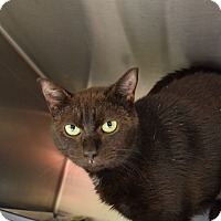 Domestic Shorthair Cat for adoption in Bay Shore, New York - Tabitha