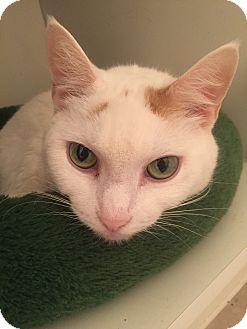 Turkish Van Cat for adoption in Worcester, Massachusetts - Marianne