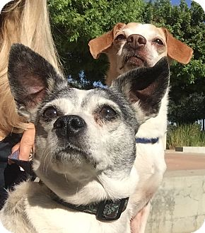 Fox Terrier (Smooth)/Terrier (Unknown Type, Medium) Mix Dog for adoption in calimesa, California - Angel
