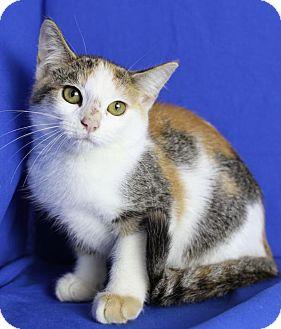 Domestic Shorthair Kitten for adoption in Winston-Salem, North Carolina - Marigold