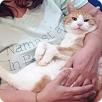 Domestic Shorthair Cat for adoption in Brooklyn, New York - Deaf Teddy Bear Orange Lovebug Cuddler